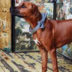 Ridgeback Keva má na sobě luxusní obojek a motýlek z kolekce Rivington. K dispozici na DOGG.CZ