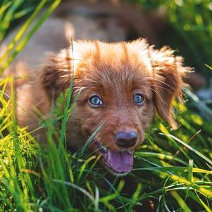 Když pes čůrá na trávník: Jak se zbavit skvrn?