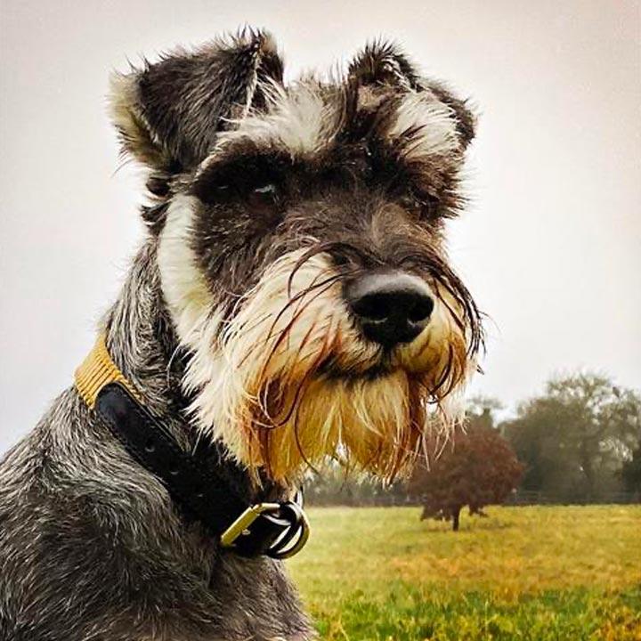 Obojek Arnold Mustard luxusní obojek pro psy